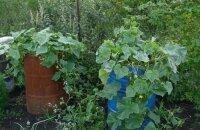 Как вырастить огурцы в бочке — собираем хороший урожай с небольшого участка