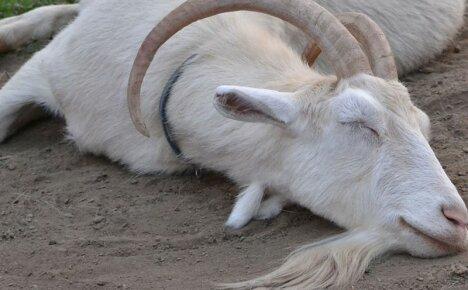 Проявления болезни кетоз у козы и эффективное лечение