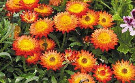 Знаменитый бессмертник – гелихризум, выращивание из семян самого неприхотливого цветка