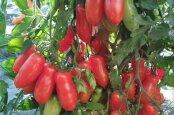 Оригинальный сорт томата Фляшен с бутылочными плодами