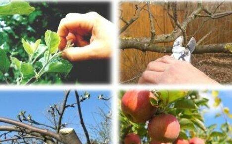Когда обрезать яблони: сроки процедуры в зависимости от времени года