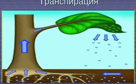 Транспирация у растений – это важнейший процесс в физиологии растительного мира