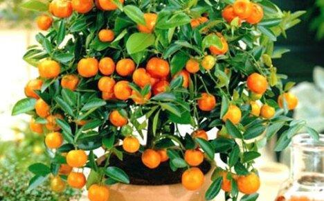 Апельсиновое дерево из косточки в домашних условиях