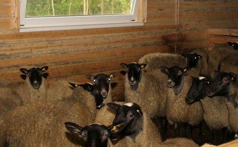 Комфортная овчарня для овец своими руками на частном подворье