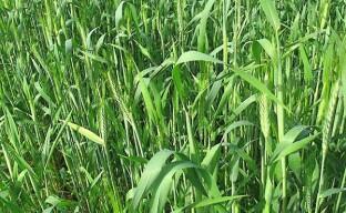 Эффективная борьба с сорняками с помощью ржи