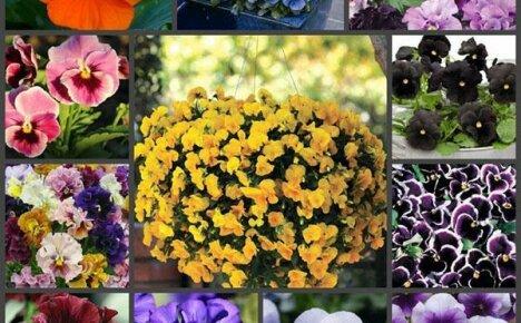 Наслаждаемся красотой окружающего мира – забавные сорта виолы