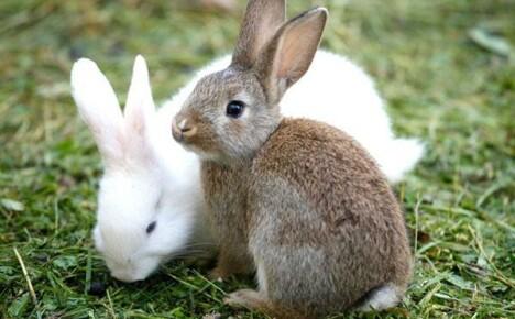 Классификация пород кроликов и фото с описаниями