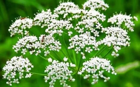 Выращивание аниса из семян: увлекательное проращивание и тонкости посева