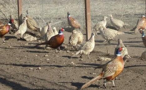 Оригинальный бизнес — разведение фазанов