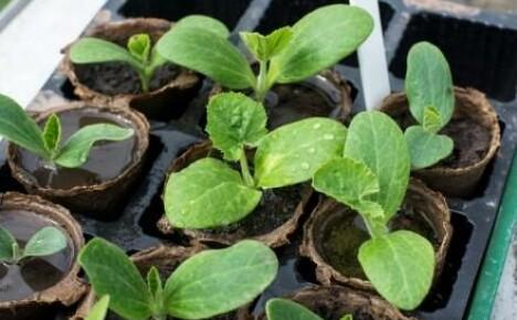 Как получить ранний урожай патиссонов?