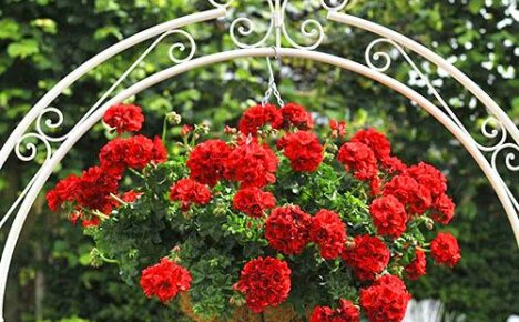 Выбираем для сада и дома ампельное растение — плющелистную пеларгонию