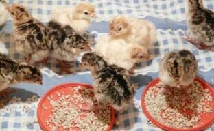 Птицеводство: содержание и разведение индюков