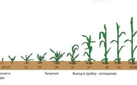 Вегетативный период у растений, особенности развития различных культур