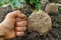 Как вырастить корневой сельдерей: тонкости посадки и ухода