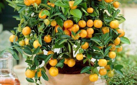 Простые и эффективные способы размножения каламондина для домашнего выращивания