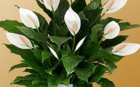 Как ухаживать за цветком спатифиллумом?