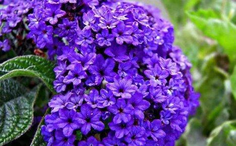 Одурманивающий своим ароматом гелиотроп: посадка, выращивание и уход