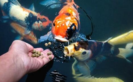 Как определиться с выбором корма для аквариумных и прудовых рыб?
