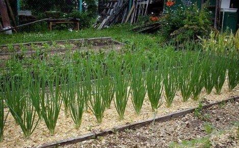 Как использовать опилки в саду и огороде, чтобы получить хороший результат