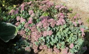 Очиток Эверса – неприхотливое стелющееся растение для вашего сада