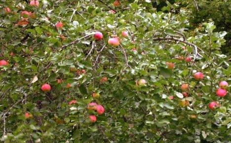Сорта яблонь для Ленинградской области