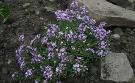 Как сажать алиссум: особенности семенного выращивания