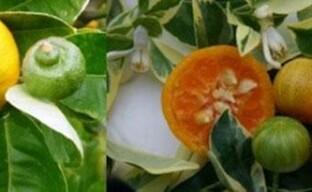 Редкие цитрусовые растения