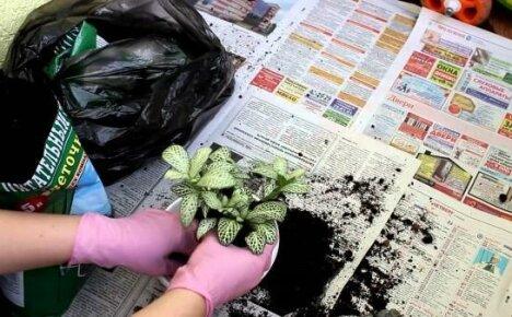 Пересадка фиттонии: когда и во что пересаживать растение
