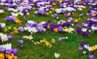 Выращивание крокусов: как создать в саду цветущий ковер из первоцветов