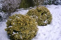 Какие вечнозеленые лиственные кустарники будут украшать сад круглый год