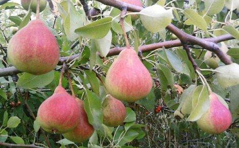 Радует вкусными плодами груша Мраморная
