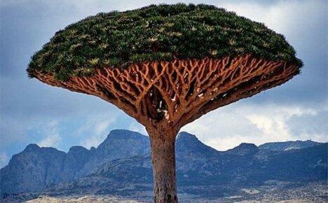Таинственная любимица садоводов — драконовое дерево