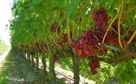 Размножение винограда отводками в летнее время