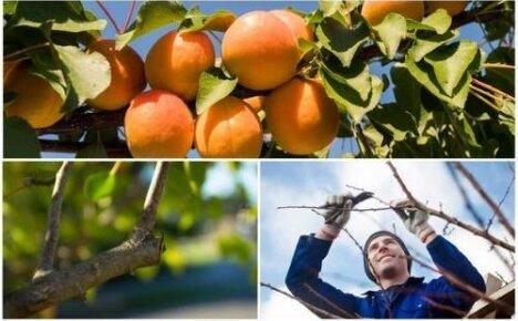Как обрезать абрикос в зависимости от сезона и цели