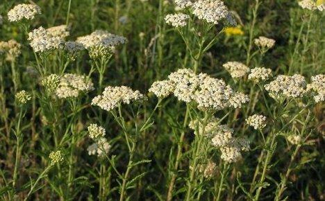 Многолетние лекарственные растения – тысячелистник обыкновенный