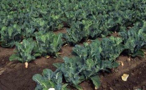 Как вырастить цветную капусту: способы посадки и особенности ухода