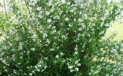 Миниатюрный кустарник для маленького сада — ложный жасмин или чубушник земляничный