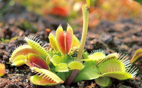 Хищные растения в дикой природе и дома