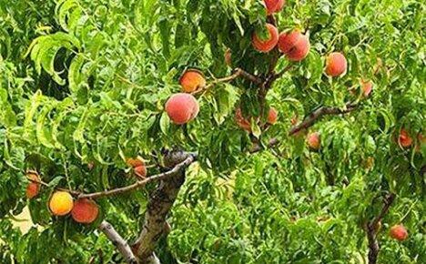 Обрезка персика в разных климатических зонах весной, летом и осенью