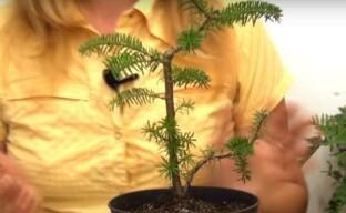 Бонсай из пихты для начинающих садоводов – секреты формирования