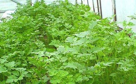 Корневая петрушка из опыта органического земледелия