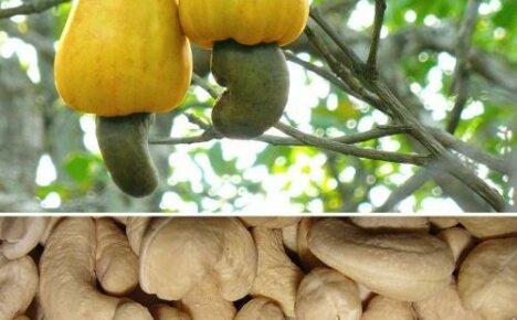 Как растет кешью или уникальные плоды — орехи на яблоке