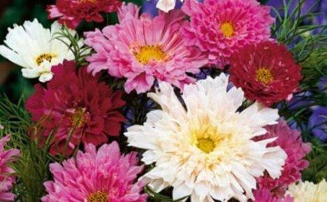 Летняя красавица космея махровая: популярные сорта, особенности выращивания