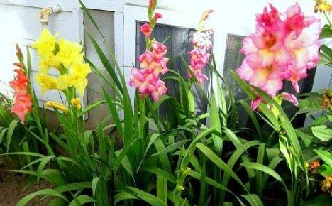 Выращиваем дома гладиолусы: как ухаживать за цветами