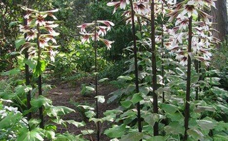 Загадочное лилейное дерево: посадка и уход за растением