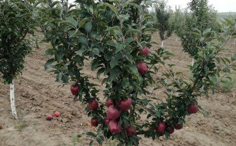 В чем секрет урожайности яблони Ред Чиф