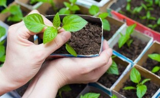 Выращивание рассады базилика