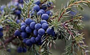Лечебные свойства плодов можжевельника