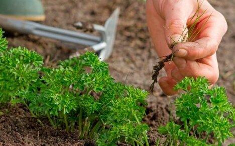 Выращиваем петрушку на садовом участке из семян в открытом грунте