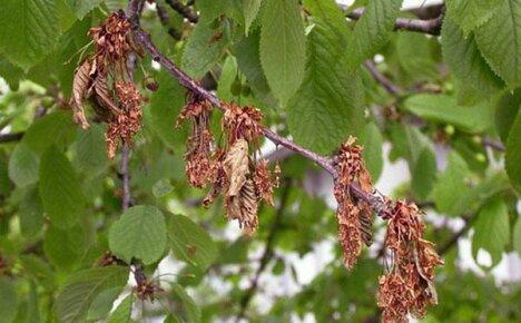 Почему сохнет вишня после цветения и как сберечь дерево